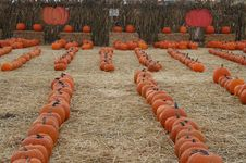 Free Pumpkin Patch Royalty Free Stock Photography - 6623077