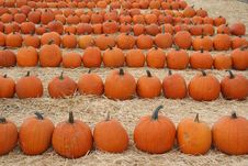Pumpkins Lined Up Stock Image