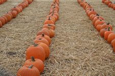 Pumpkin Rows Stock Photography