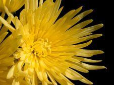 Free Chrysanthemum Yellow Royalty Free Stock Photos - 6623138