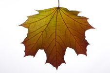 Free Autumn Maple Leaf Royalty Free Stock Photo - 6623185