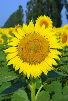 Free Sunflower With Bee Against Green Field Stock Photos - 6623383