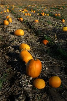 Free Pumpkins In The Pumpkin Patch. Royalty Free Stock Images - 6623389