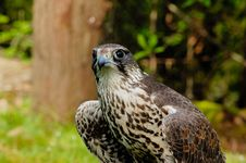 Free Saker Falcon Stock Images - 6623724