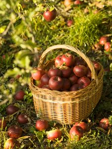 Free Red Apples Royalty Free Stock Photos - 6624298