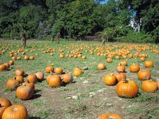 Free Pumpkin Patch Royalty Free Stock Photos - 6625298