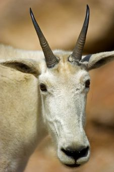 Free Mountain Goat Stock Image - 6625671