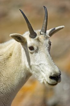Free Mountain Goat Royalty Free Stock Photo - 6625715