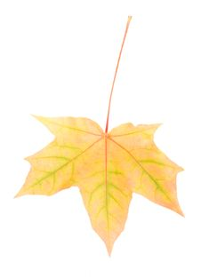 Single Yellow Maple Leaf Stock Image