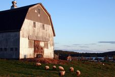 Free Sheep Grazing Near Old Barn Stock Photography - 6625862