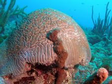 Free Brain Coral With A Touch Of Brown Royalty Free Stock Photography - 6626857
