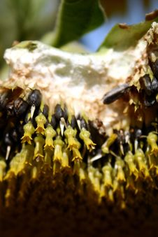 Free Close-up Cross-Section Of A Sunflower Royalty Free Stock Images - 6627389
