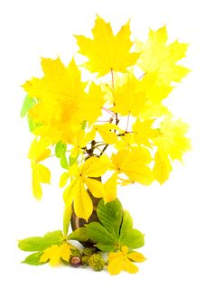 Free Maple With Yellow Bright Leaves Stock Images - 6627484