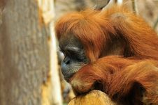 Free Sad Orangutan Stock Photo - 6627620