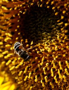Free Sunflower S Bees Stock Photo - 6627730
