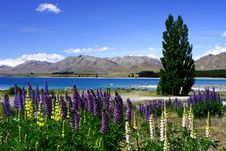 Free Lavender By Lake Tekapo (3) Royalty Free Stock Photography - 6627897