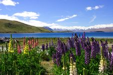 Free Lavender By Lake Tekapo (4) Stock Images - 6627914
