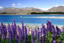 Free Lavender By Lake Tekapo (6) Royalty Free Stock Image - 6628056