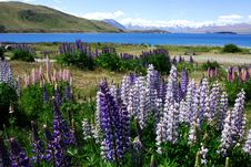 Free Lavender By Lake Tekapo (7) Stock Images - 6628064
