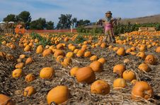 Free Pumpkin Patch Stock Photo - 6628800