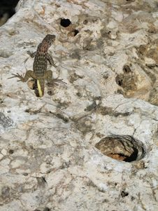 Free Lizard On A Rock Royalty Free Stock Image - 6628976