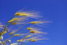 Free Wheat Ears Royalty Free Stock Photos - 6629148