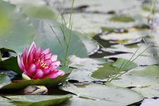 Free Lotus. Royalty Free Stock Image - 6629996