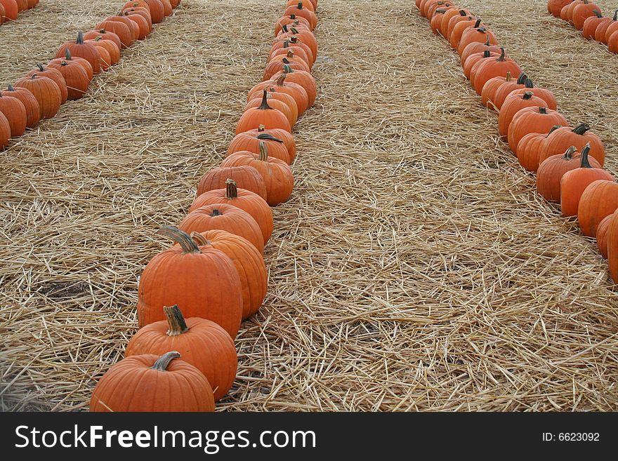 Pumpkin Rows