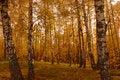 Free Autumn Birch Wood Royalty Free Stock Image - 6632946