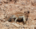 Free Ground Squirrel (Xerus Inaurus) Royalty Free Stock Photos - 6635148