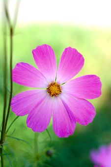 Free Pink Cosmos Flower. Stock Photography - 6630372