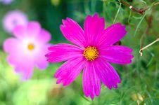 Free Pink Cosmos Flower. Stock Image - 6630411