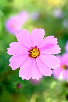 Free Pink Cosmos Flower. Royalty Free Stock Images - 6630459