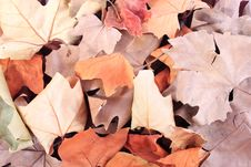 Free Dried Leaves Texture Royalty Free Stock Images - 6630699