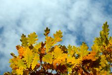 Free Yellow Autumn Maple  Leaves Stock Photo - 6631230