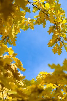 Free Yellow Autumn Maple  Leaves Stock Photo - 6631240