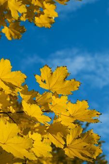 Free Yellow Autumn Maple  Leaves Royalty Free Stock Images - 6631249
