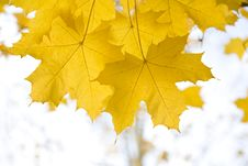 Free Yellow Autumn Maple  Leaves Royalty Free Stock Photo - 6631255