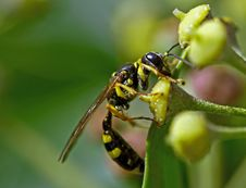 Free Wasp On Blossom Royalty Free Stock Images - 6631629