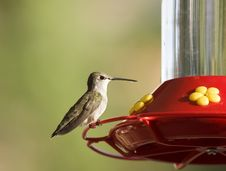 Free Humming Bird Royalty Free Stock Photo - 6632665