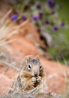 Free Squirrel Royalty Free Stock Photo - 6632685