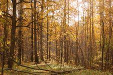 Free Autumn Birch Wood Royalty Free Stock Photo - 6632785