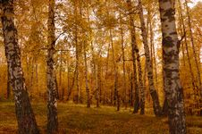 Free Autumn Birch Wood Royalty Free Stock Image - 6632946