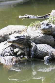 Free Crocodile Royalty Free Stock Photos - 6633268