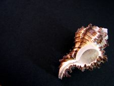 Free Shell On Black Background Royalty Free Stock Images - 6633339