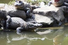 Free Crocodile Stock Photos - 6634333