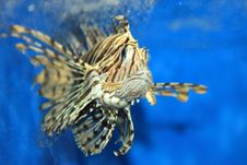 Free Lion Fish Royalty Free Stock Photo - 6636325