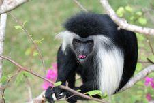 Free Monkey Royalty Free Stock Photo - 6637115