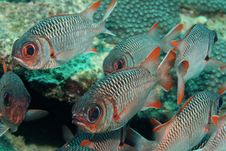 Free School Of Soldierfish Stock Photo - 6637440