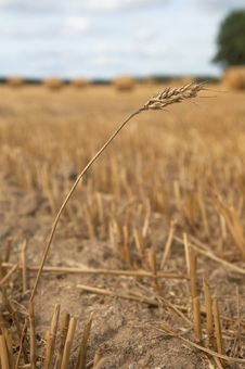 Free Ear Of Wheat Royalty Free Stock Photo - 6637605